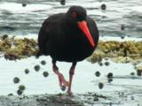 A Sooty Oystercatcher Searches For Food On A Rocky Shore