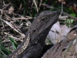 A Dragon Lizard Has An Eye On Possible Dangers