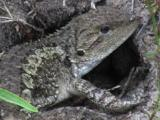 A Dragon Lizard Digs A Hole To Deposit Its Eggs