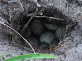 Eggs Laid Into A Hole By A Dragon Lizard