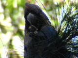 A Male Glossy Black Cockatoo Crunches On A Conifer Cone