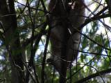 Ringtail-Possums Are Rarely Seen During The Day