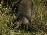 A Swamp Wallaby Grazes In A Forest Clearing