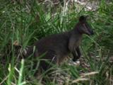 A Swamp Wallaby Hops In Tall Grass