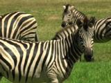 The Stripe Pattern Of Zebras Are Different On Every Individual