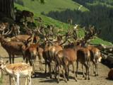 European Deer (Mainly Stags) Gather In A Wildlife Reserve