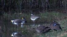 Three Masked Lapwings Have A Sip Of Water Next To Two Snoozing Ducks