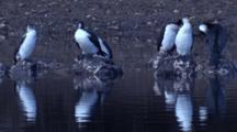 Cormorants Take A Break From Fishing On Oyster-Clad Rocks