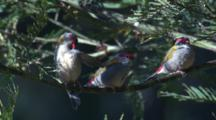 Two Firetail Finches Preen On A Perch While A Third One Arrives