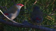 Two Firetail Finches Perched In A Conifer, Fly Off