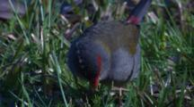 A Firetail Finch On A Meadow Feeds On Grass Seeds