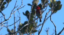 A Male Scarlet Honeyeater Sings, Perched On A Twig
