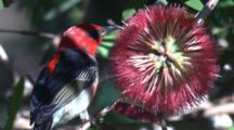 A Male Scarlet Honeyeater Forages On Bottlebrush And Leaves