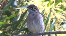 A Honeyeater, Perched On A Wattle Bush, Preens And Leaves