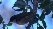 A Honeyeater Searches For Insects On A Tree