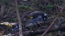 Three Honeyeaters Takes A Bath In A Puddle