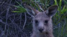 A Kangaroo Joey Looks At The Camera And Shakes Its Head