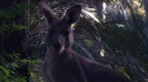 A Kangaroo Turns Near Burrawang Palms And Hops Away