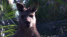 A Male Kangaroo Amidst Burrawang Palms Looks At The Camera