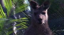 A Male Kangaroo Amidst Burrawang Palms Looks At The Camera