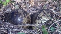 Two Eggs Of Masked Lapwing On The Ground