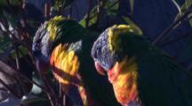 A Lorikeet Pair Take A Break At Their Nest Site