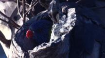 A Lorikeet Chick In The Nest Hole Has A Look Into Its New World