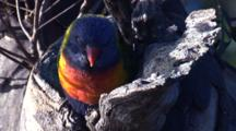 A Lorikeet Takes A Break At Its Nest Hole In A Tree