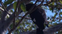 A Pied Currawong, Perched, Flies Up Higher
