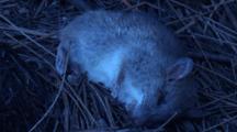 A Dead Marsupial Lies Under Casuarina Trees