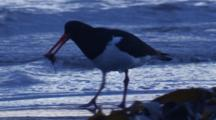 An Oystercatcher Finds Food Among Washed Up Kelp