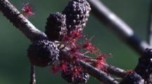 Female Flowers On Black She-Oak
