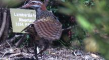 A Buff-Banded Rail Preens And Stretches Its Wings