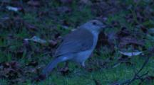 A Bird Forages On A Lawn Among Foliage