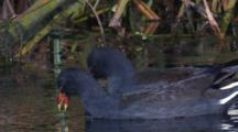 Two Dusky Moorhen Forage In A Pond