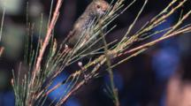 A Thornbill Forages On A Conifer Tree