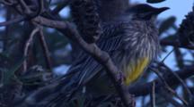 A Wattlebird Preens On Its Perch