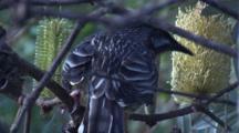 A Wattlebird Feeds On Pollen Of Banksia Bloom