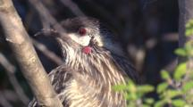 A Red Wattlebird Sits In A Bush And Observes