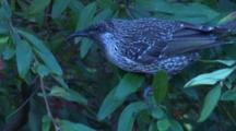 A Wattlebird Forages On A Grevillea Bush And Leaves