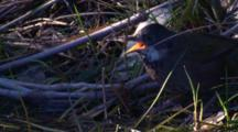 An Eastern Whipbird Drinks From A Pond