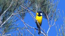 A Male Golden Whistler Sings On A Conifer Tree And Leaves