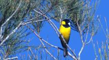 A Male Golden Whistler Leaves From A Conifer Tree