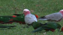 King Parrots And Galahs Forage On Grassland