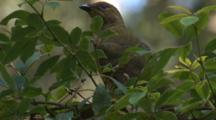 A Satin Bowerbird Perched On Bush