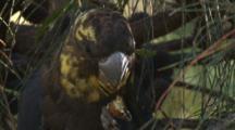 A Glossy Black Cockatoo Gnaws On A Casuarina Cone