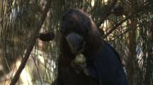 A Glossy Black Cockatoo Gnaws On A Casuarina Cone