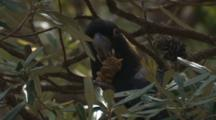 A Yellow-Tailed Black-Cockatoo Forages On A Banksia Tree
