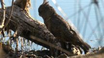 Gang-Gang Cockatoo Perched On Fallen Tree