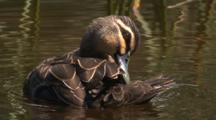 A Pacific Black Duck Swims And Preens Its Plumage